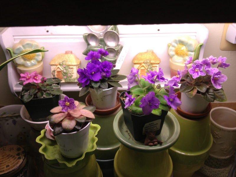 Violets under counter lights