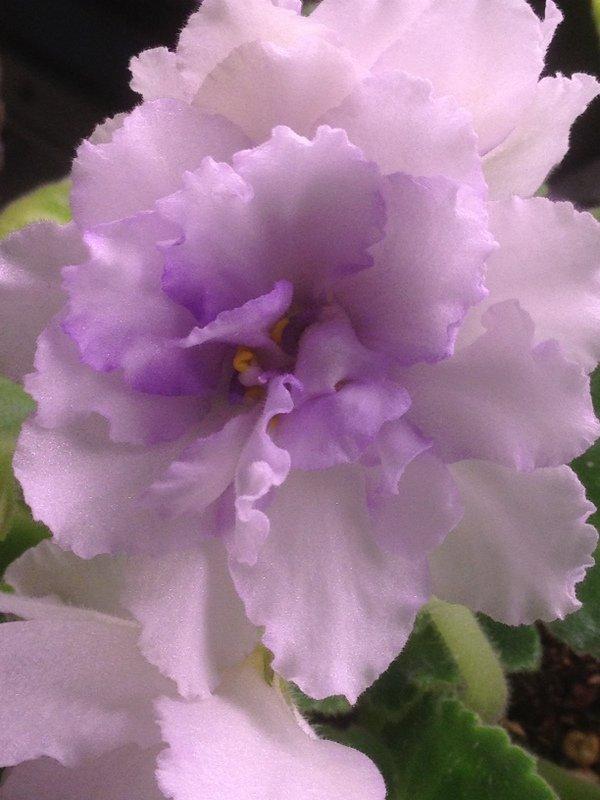 Pale purple violet