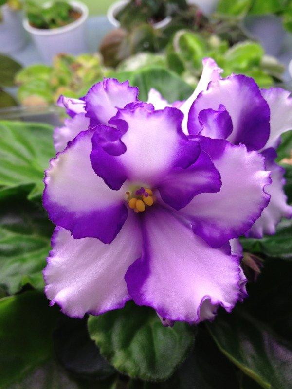 Bi-color African violet