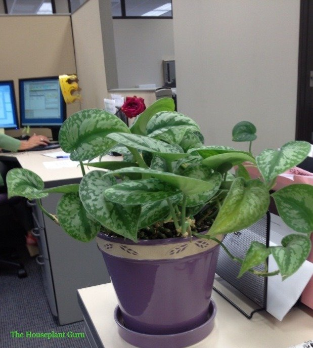 Pothos 'Silver Satin' in my daughter's office