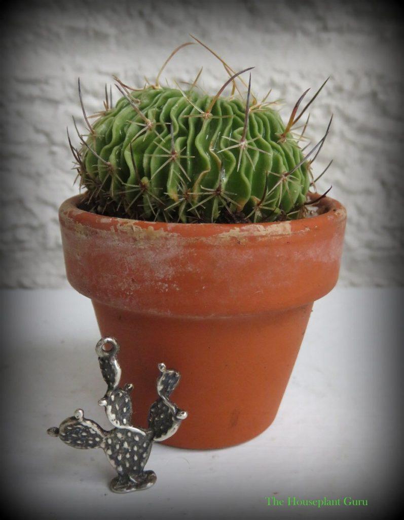 Tiny charm for a tiny stenocactus