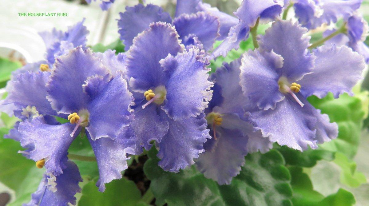 'Evergrace' African violet