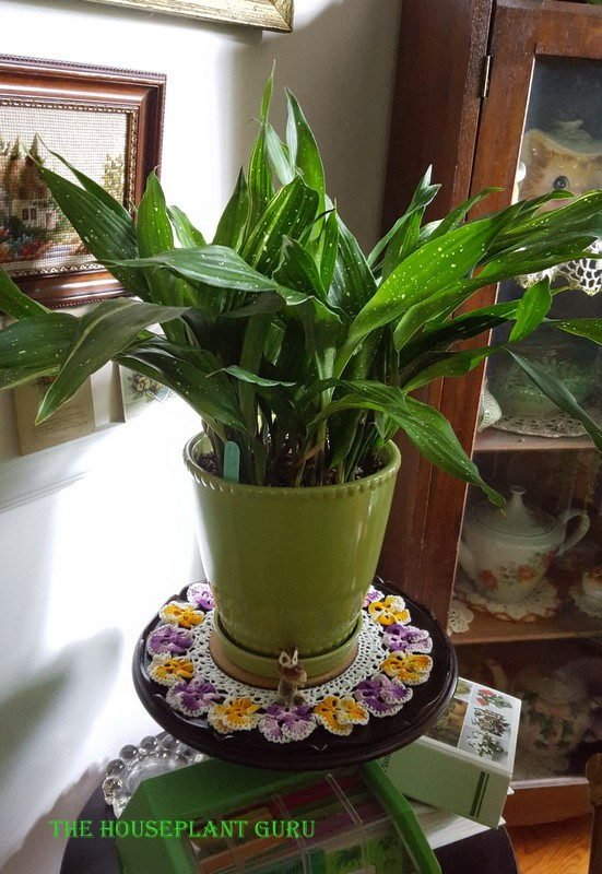 "Aspidistra in the ""parlour"""