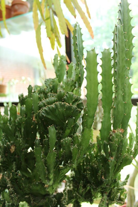 Crested euphorbia with straight reversions