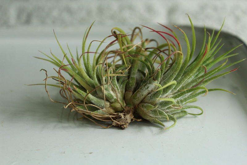 Roots coming from the mother plant