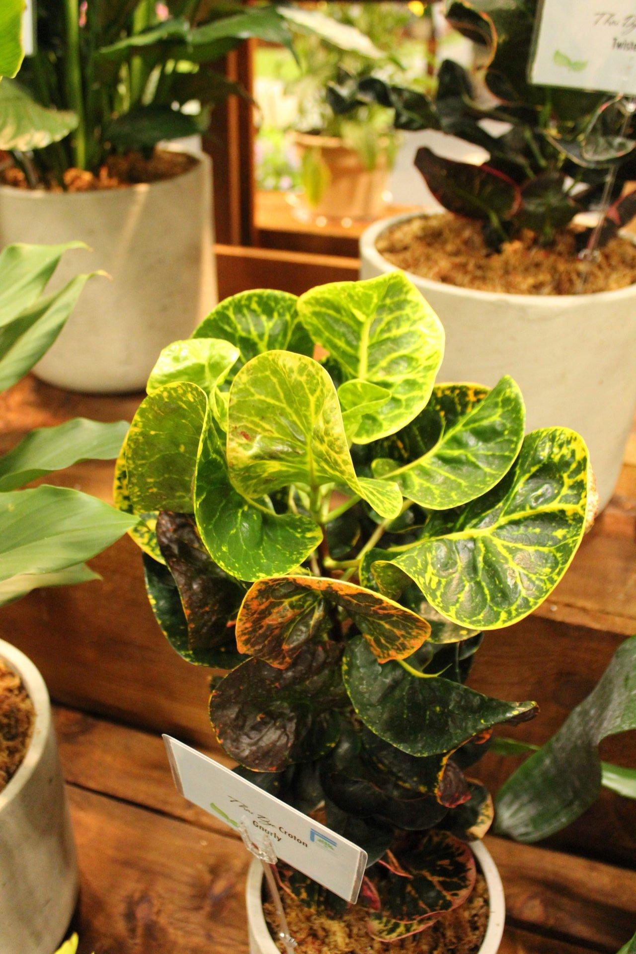 Croton 'Gnarly'