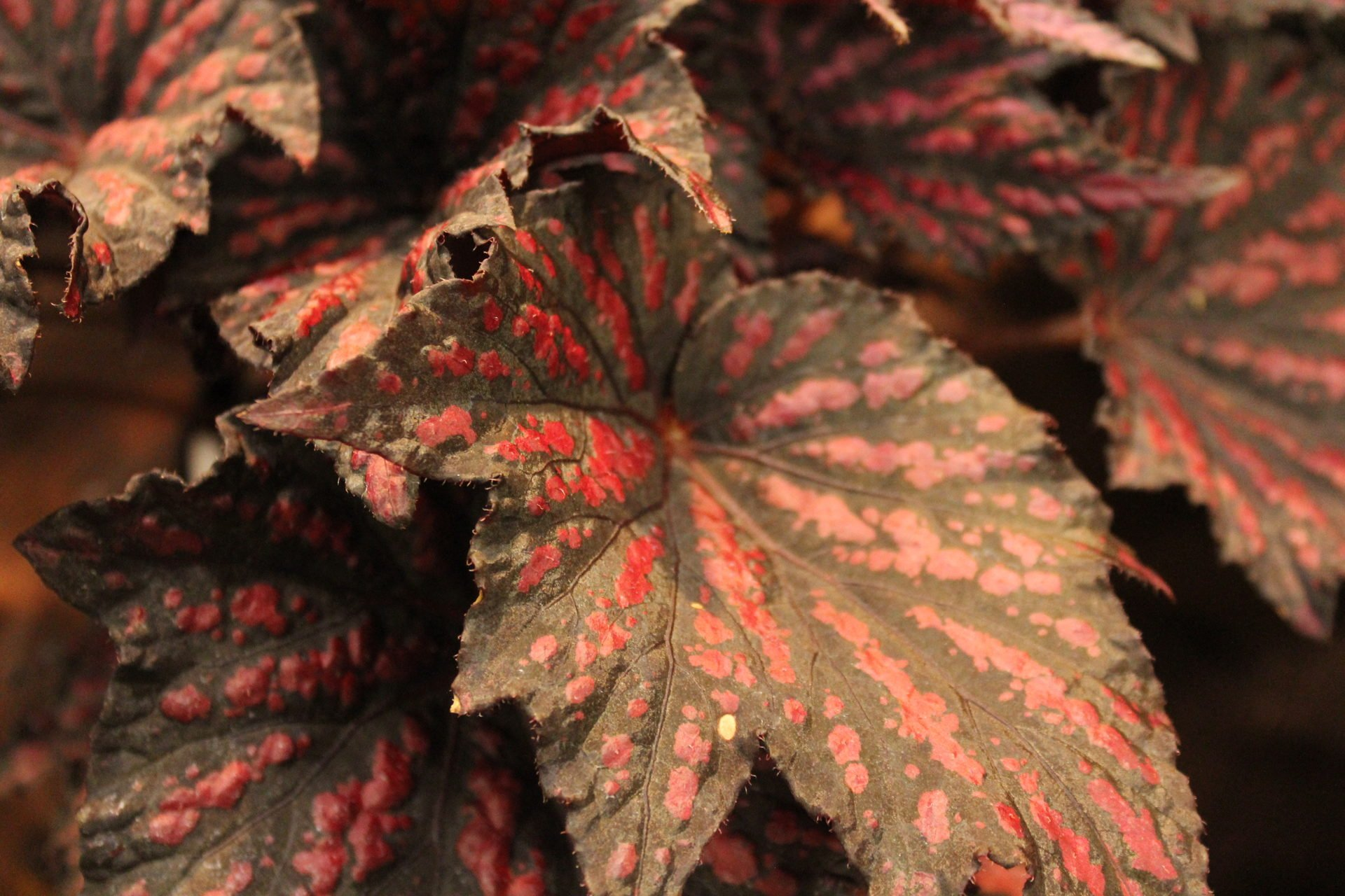Bewitched 'Red Black'