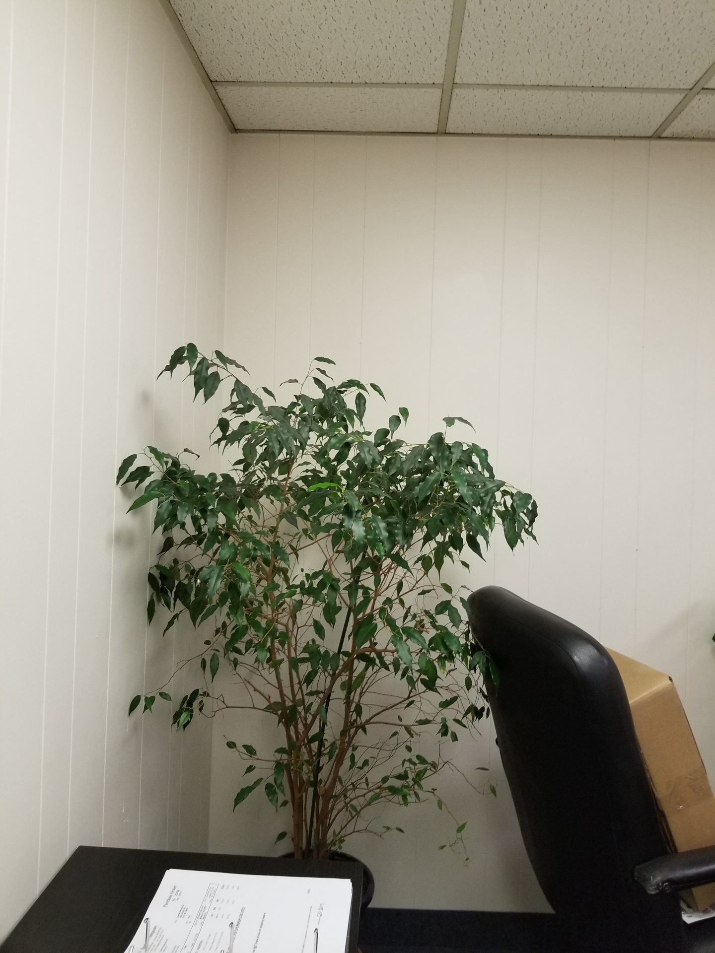 Ficus benjamina in office