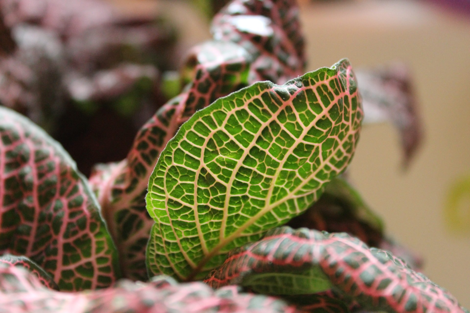 Sun shining through the leaf of the fittonia