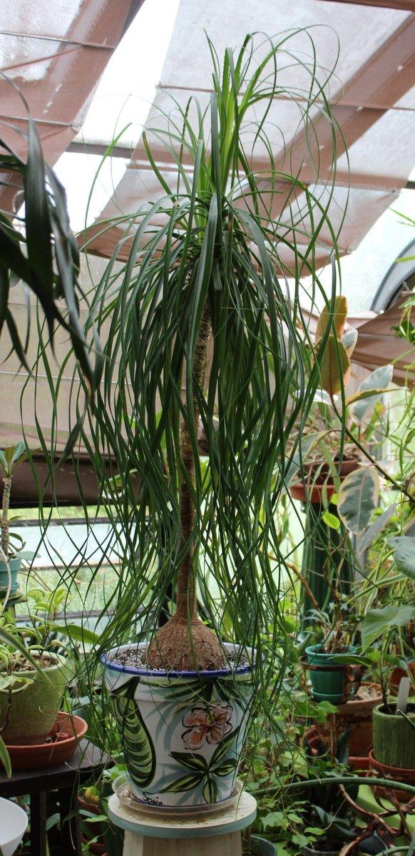 Ponytail palm