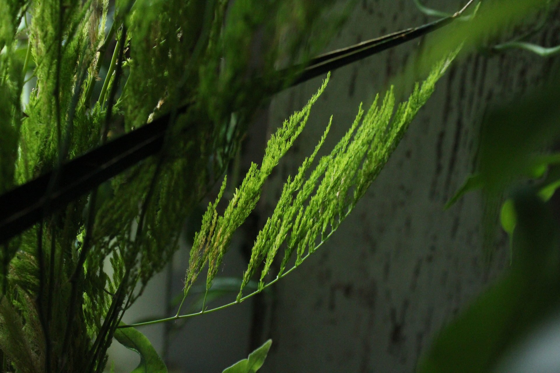 asparagus pyramidalis stem