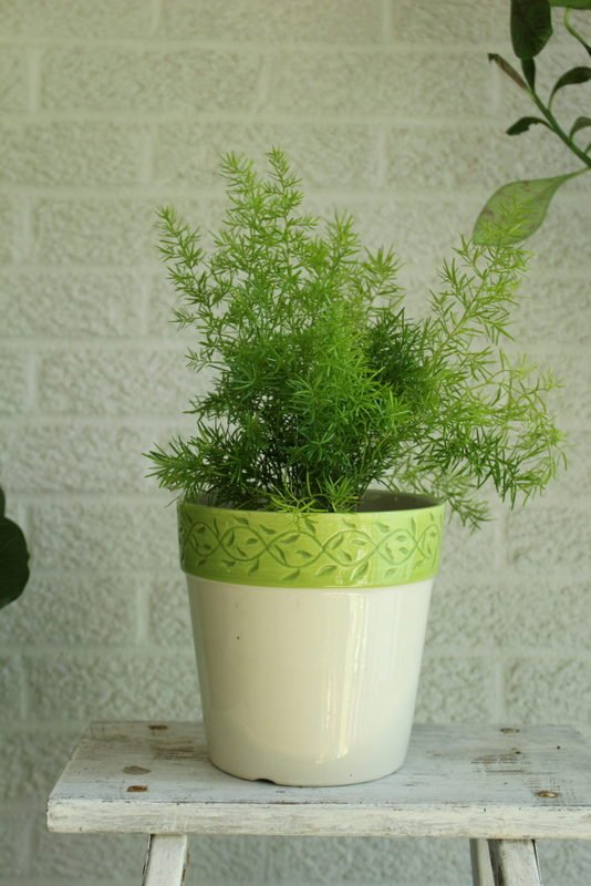 Up potted asparagus fern