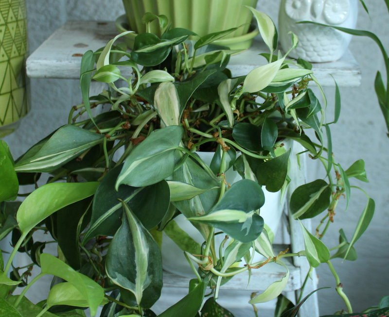 'Brazil' philodendron