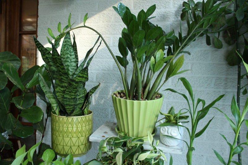 ZZ plant and Sansevieria
