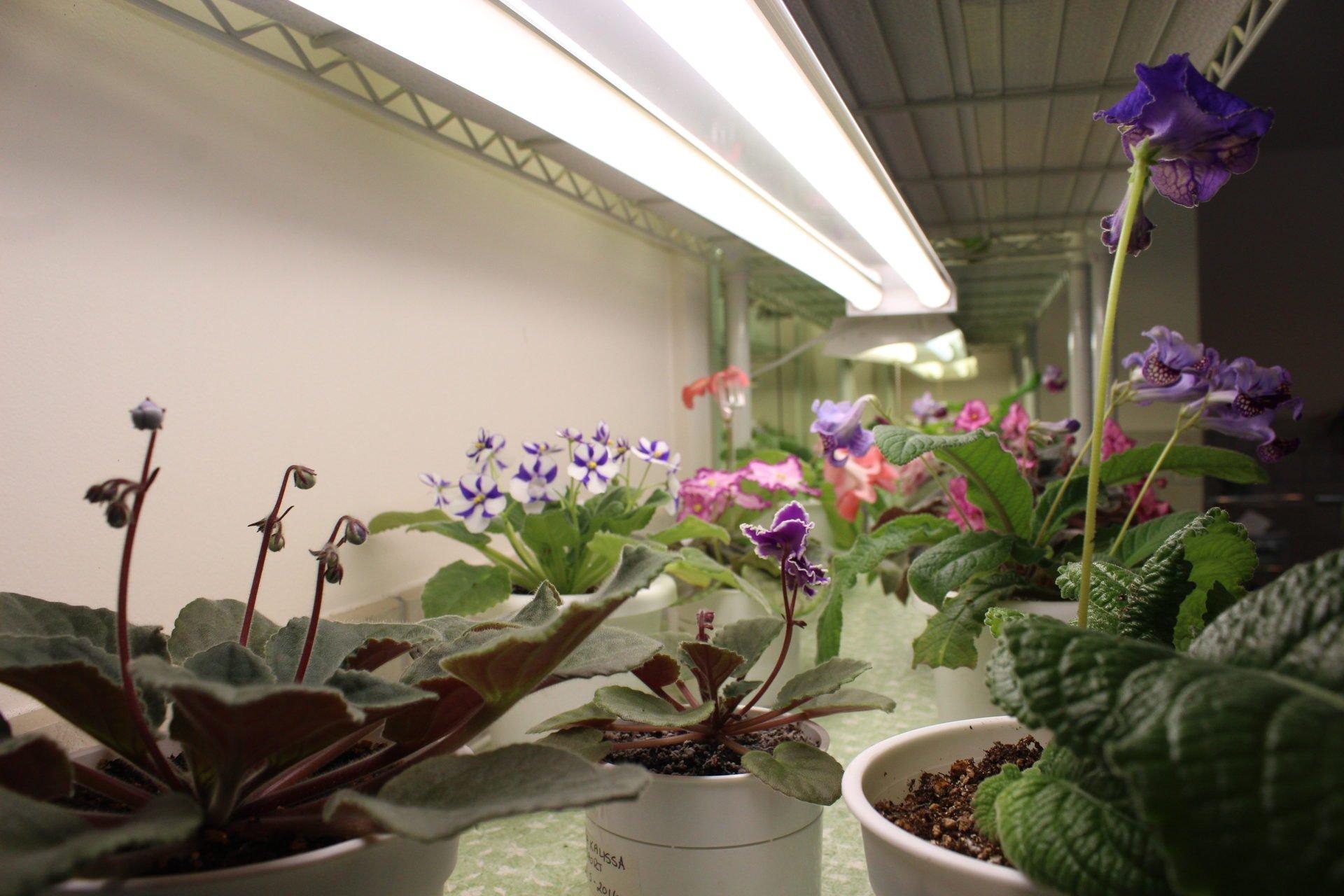 African violets under lights