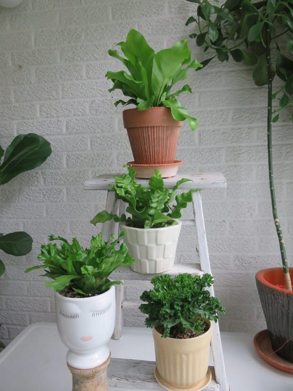 Four types of bird's nest ferns