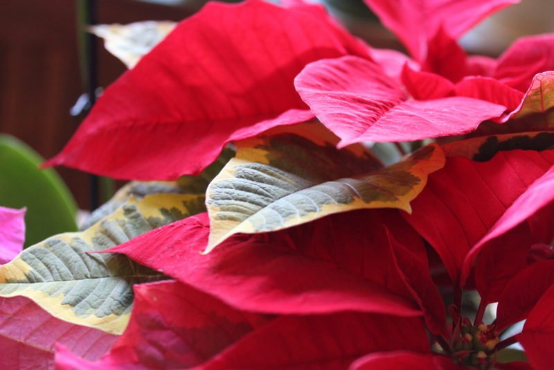 "Poinsettia 'Tapestry"" or vareigated poinsettia"