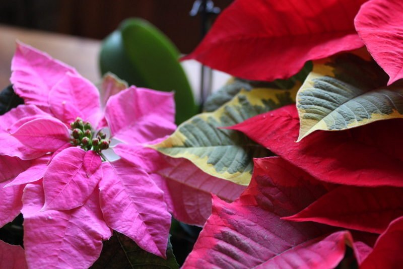 Pink and 'Tapestry' poinsettias