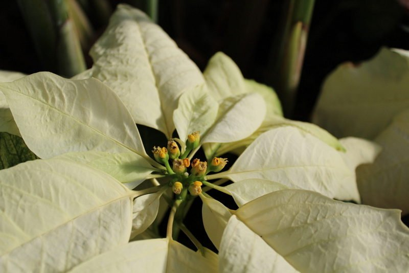 Pollen showing in the middle of this white poinsettia