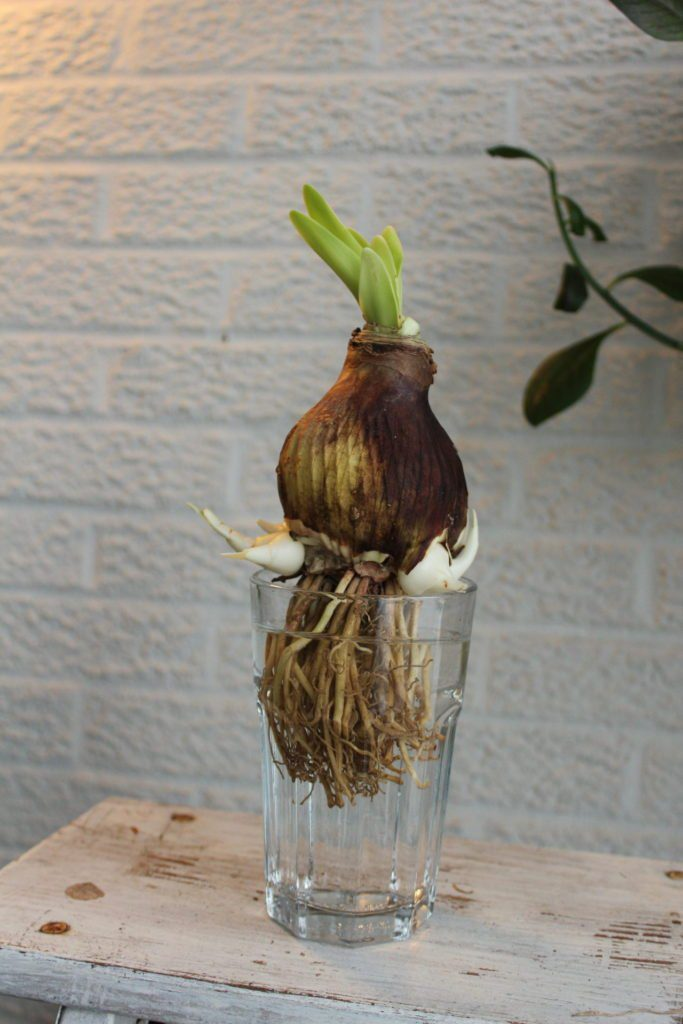 Amaryllis roots soaking