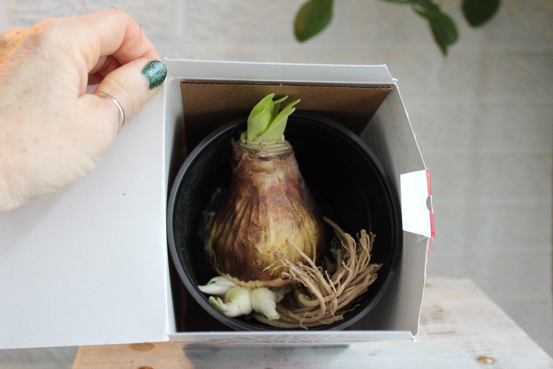 Amaryllis in a box