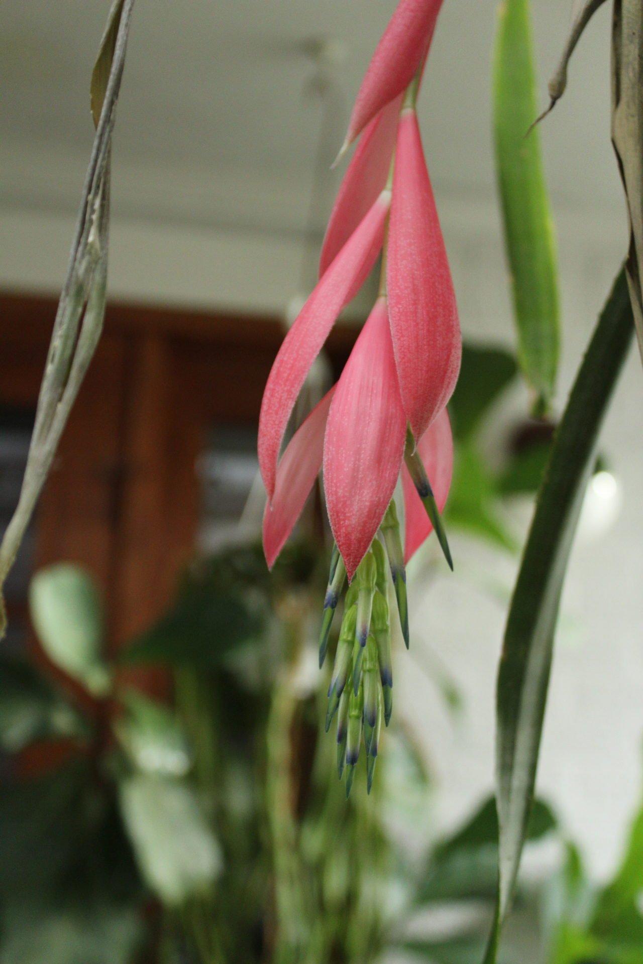 Billbergia flower
