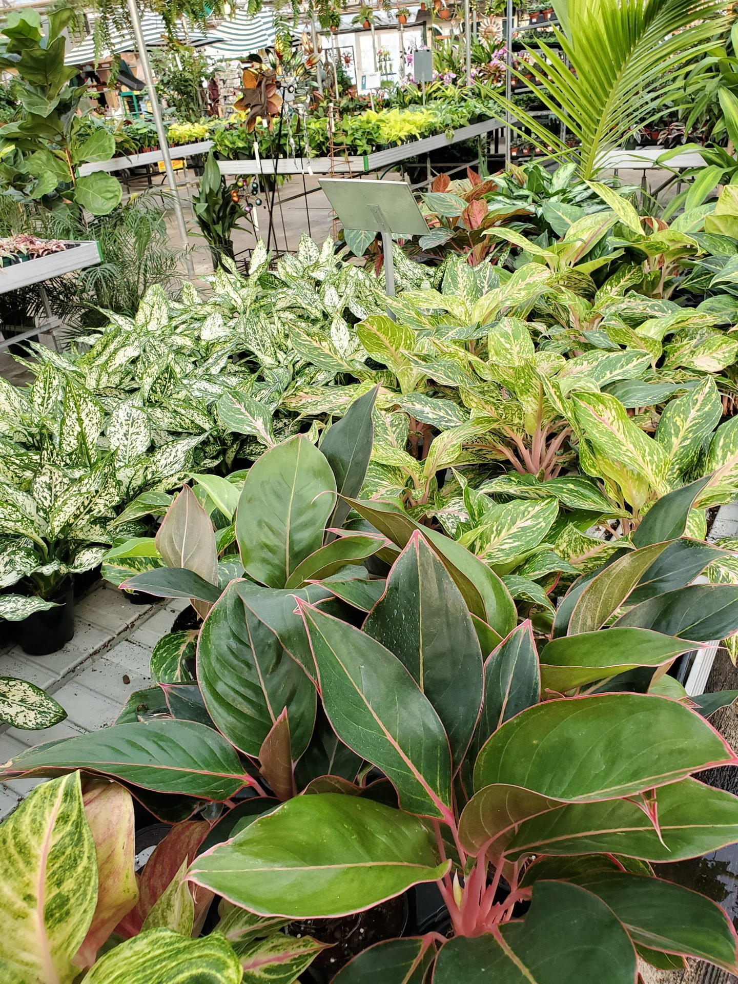 A large selection of aglaonemas