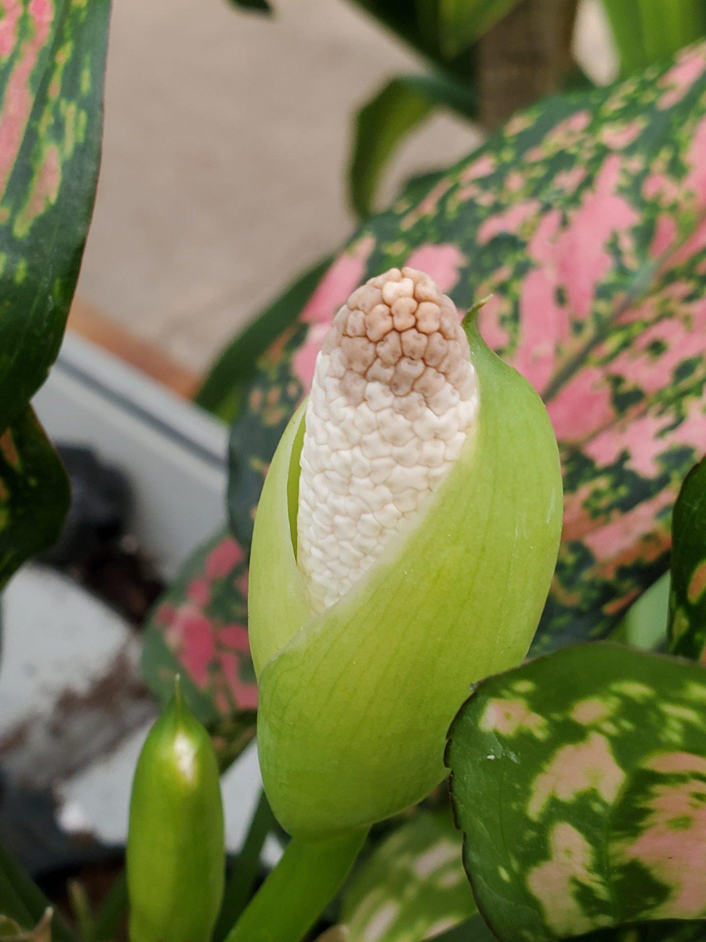 Aglaonema flower