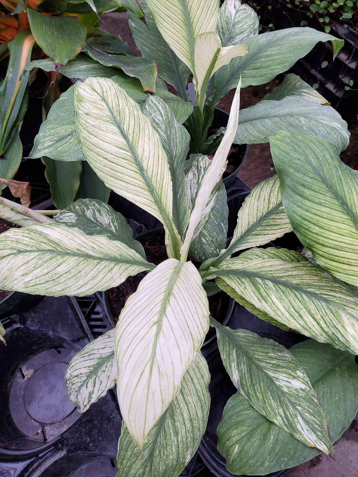 Spathiphyllum 'Jessica'