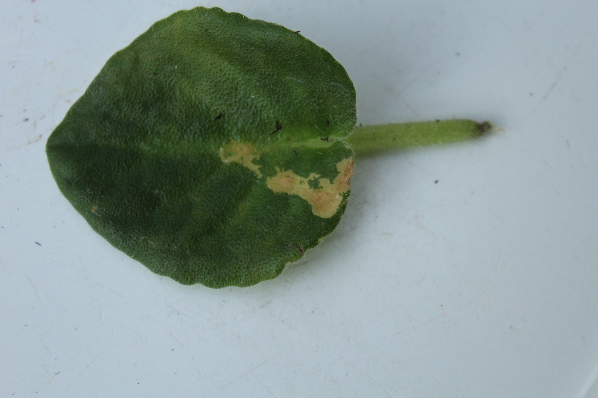 cold water damage on an African violet