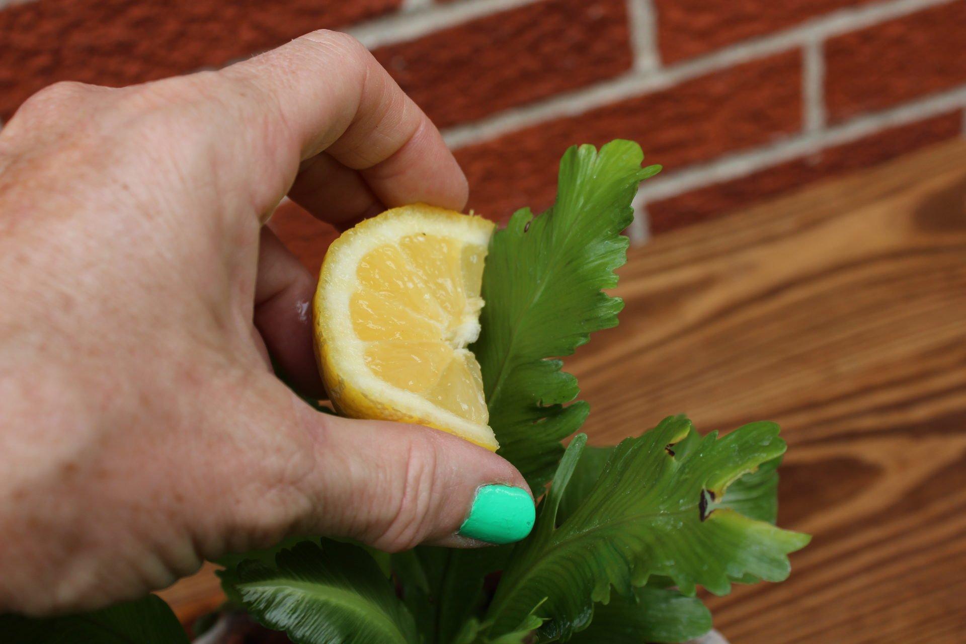 Lemon to clean leaves