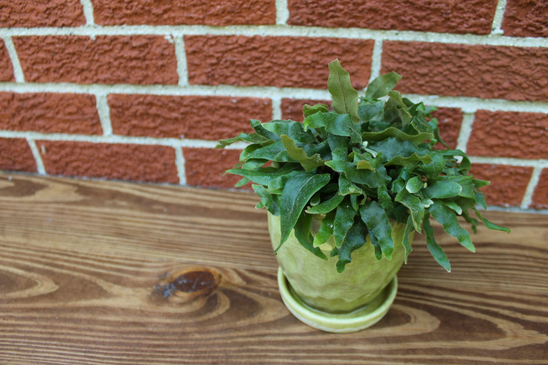 Elaphoglossum fern
