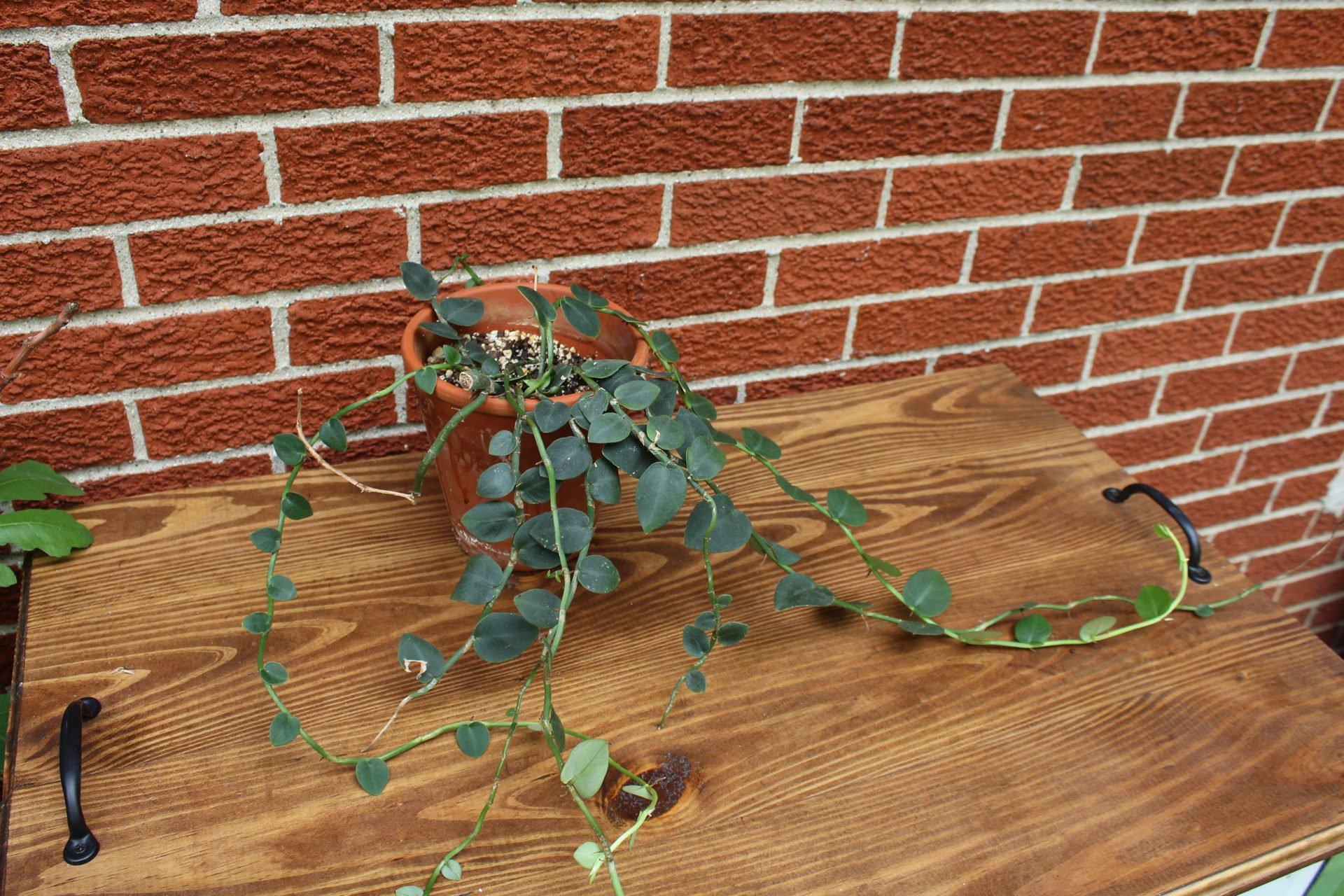My shingle plant