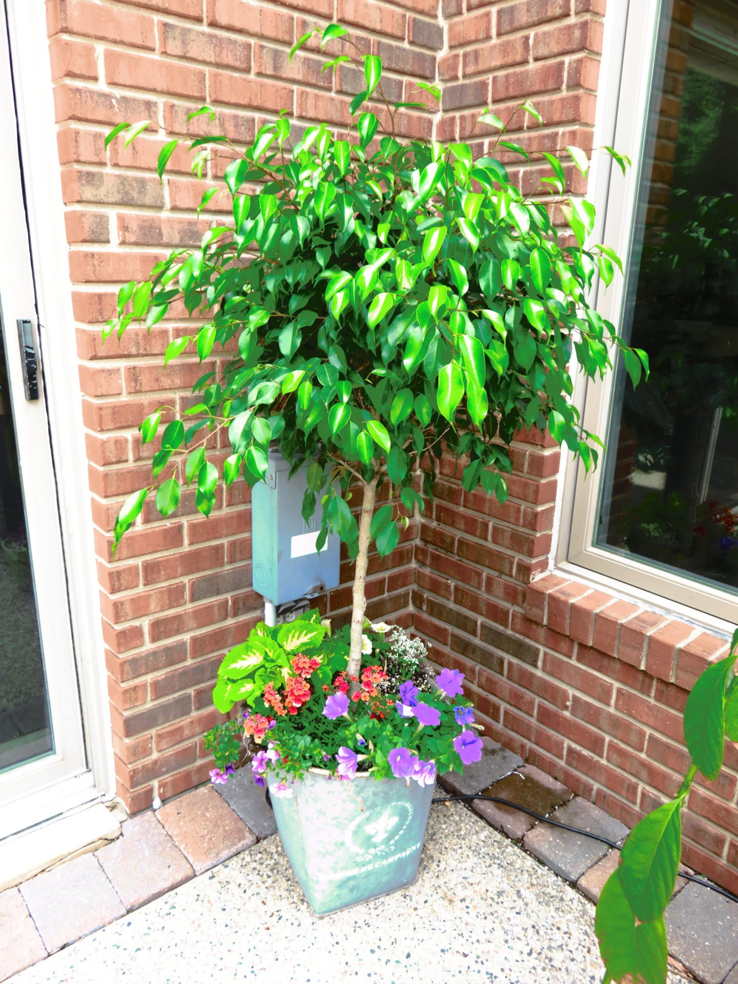Ficus outside for the summer