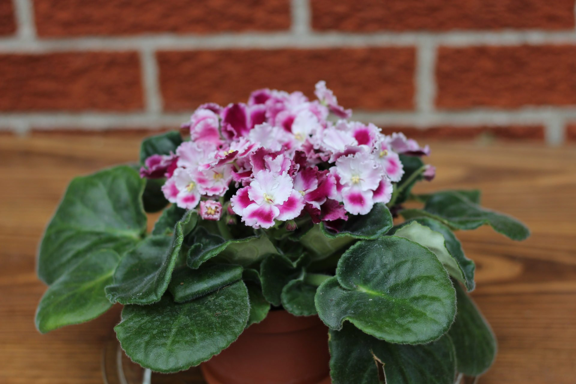 Beautiful African violet