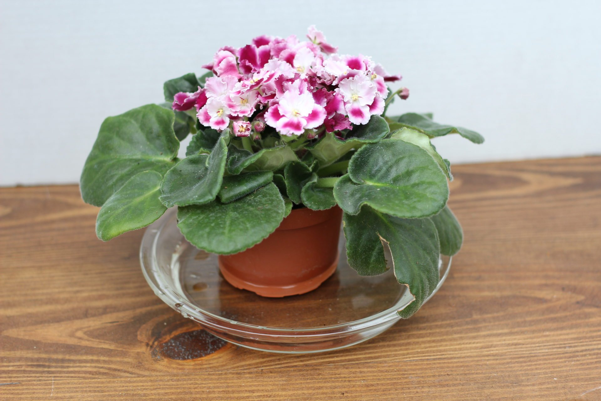 bottom watering an African violet