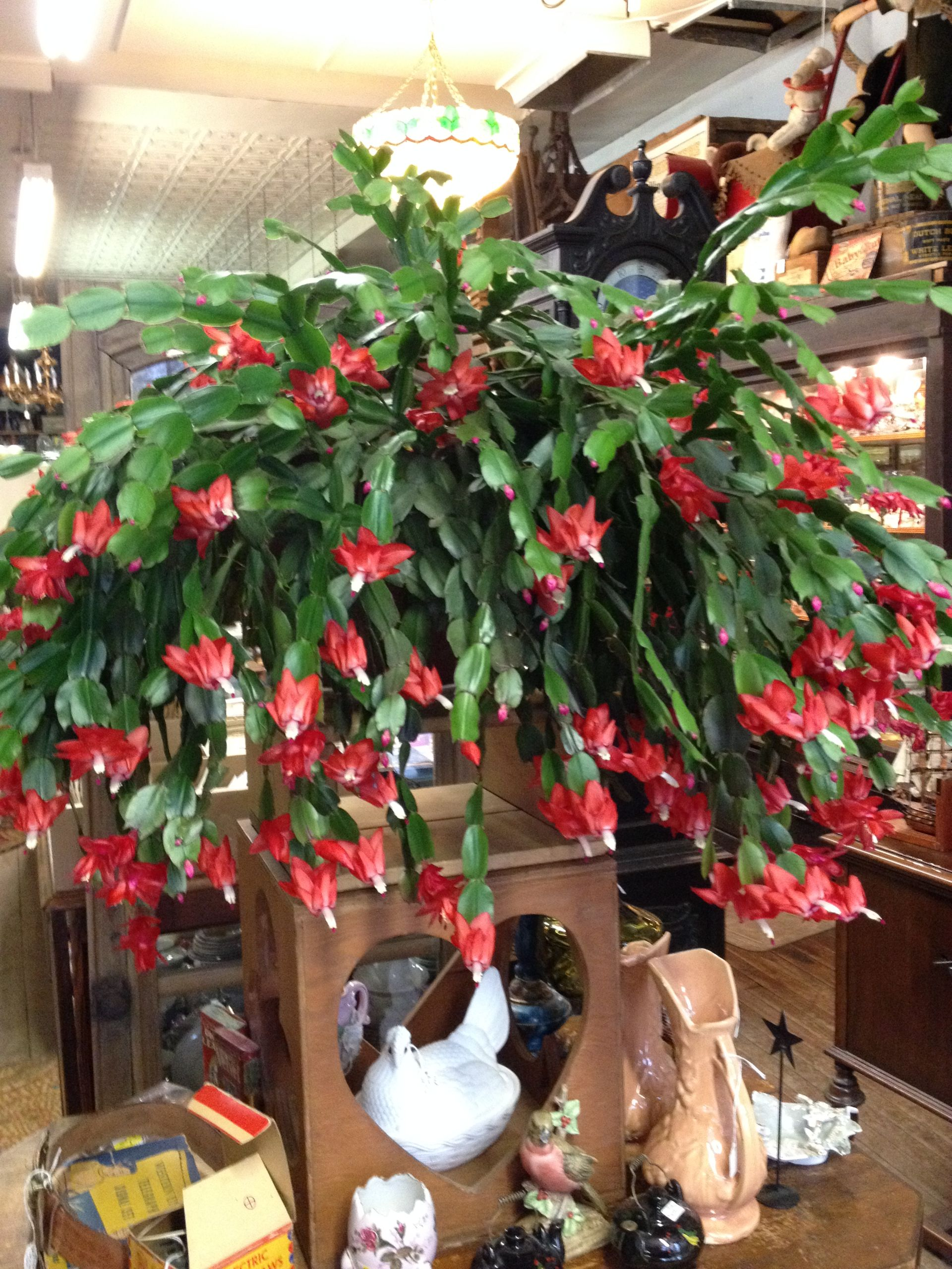 Old Christmas cactus