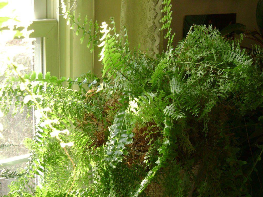My fern in 2011 before re-potting it