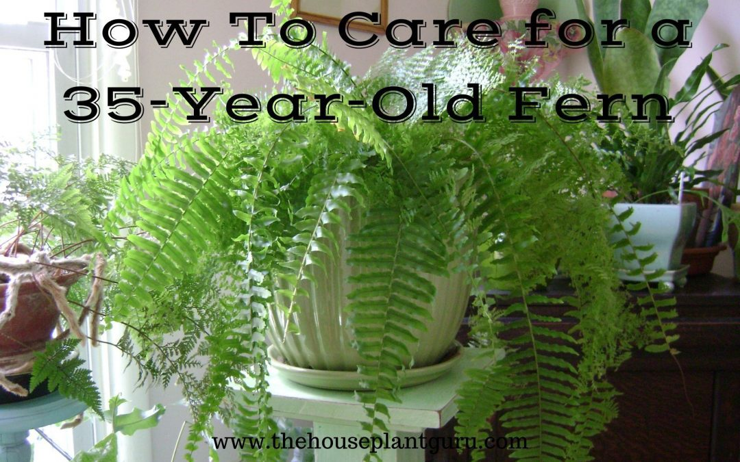 How to Care for a 35 Year Old Fern