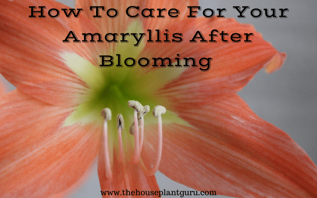 How To Care For Your Amaryllis After Blooming
