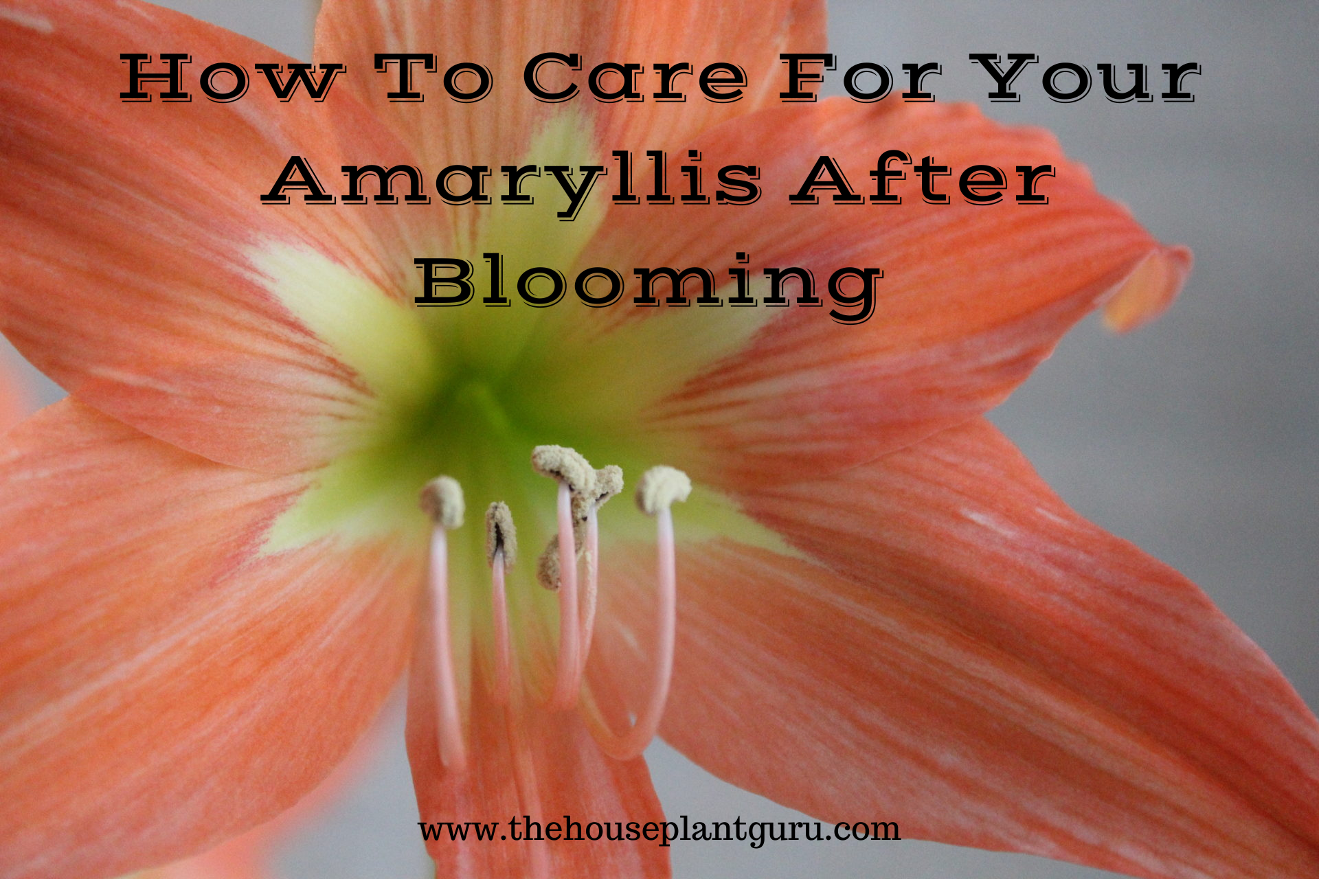 How To Care For Your Amaryllis After Blooming The Houseplant Guru