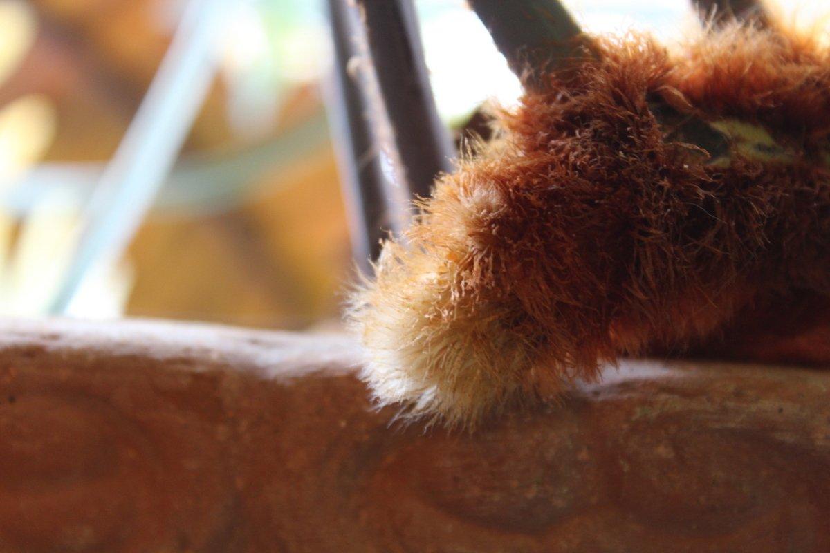 Bear's paw fern