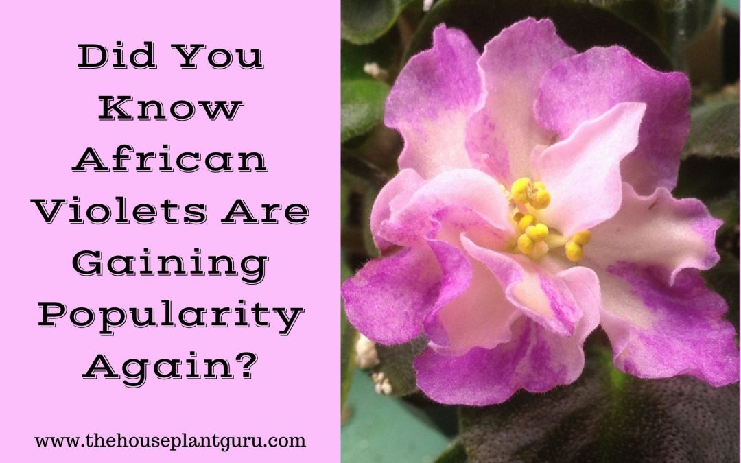 Did You Know African Violets Are Gaining Popularity Again?