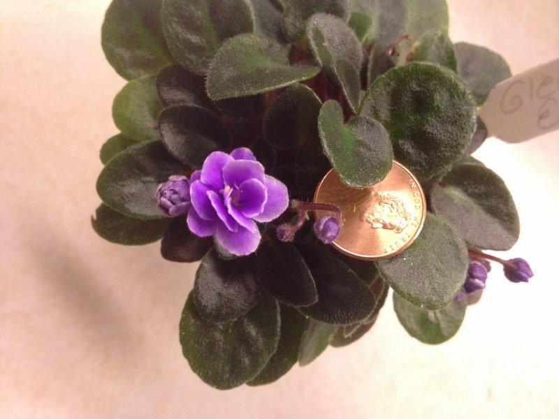 'Gleeful Elf' African violet