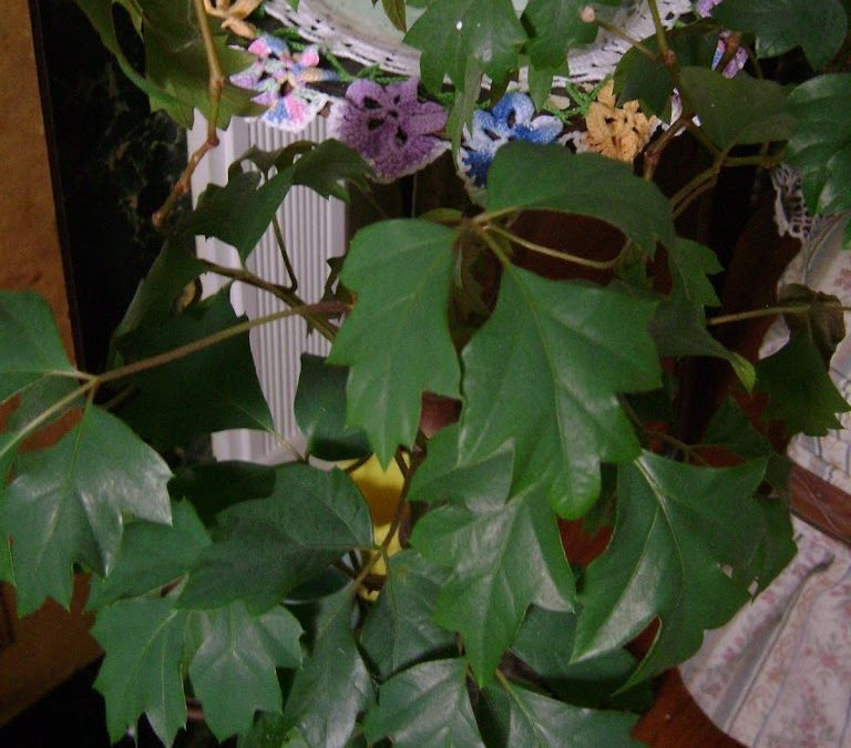 Rambling On About Cissus - The Houseplant Guru on codium plant, medinilla plant, barleria plant, epipremnum plant, dioscorea plant, coccoloba plant, dorstenia plant, chirita plant, kiwi fruit plant, calendula officinalis plant, fiddle leaf plant, veltheimia plant, brassaia plant, bursera plant, adromischus plant, rhapis plant, cocculus plant, calandrinia plant, asystasia plant,