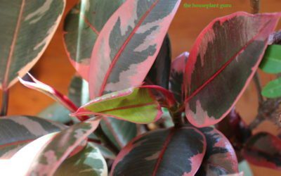 Rubber Tree Ficus elastica