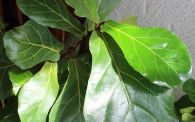 Fiddle leaf Fig –Ficus lyrata