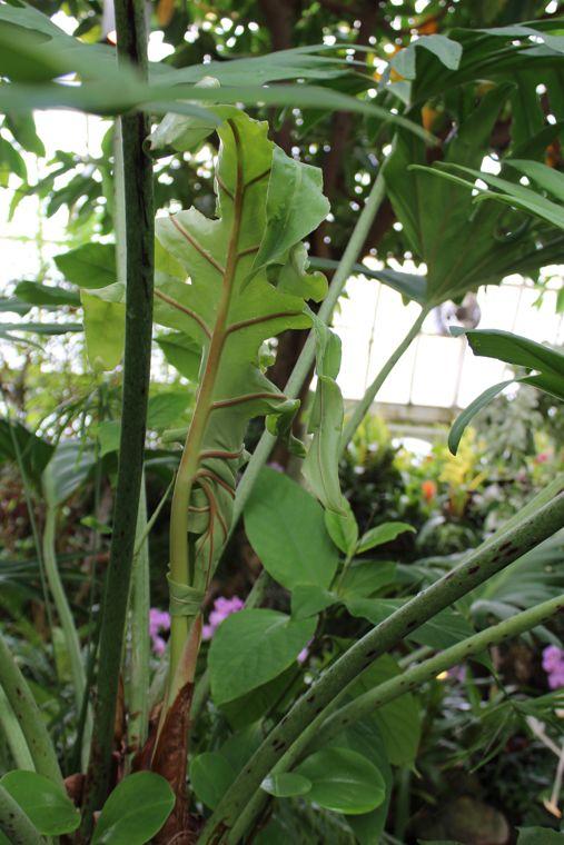 Philodendron leaf unfurling