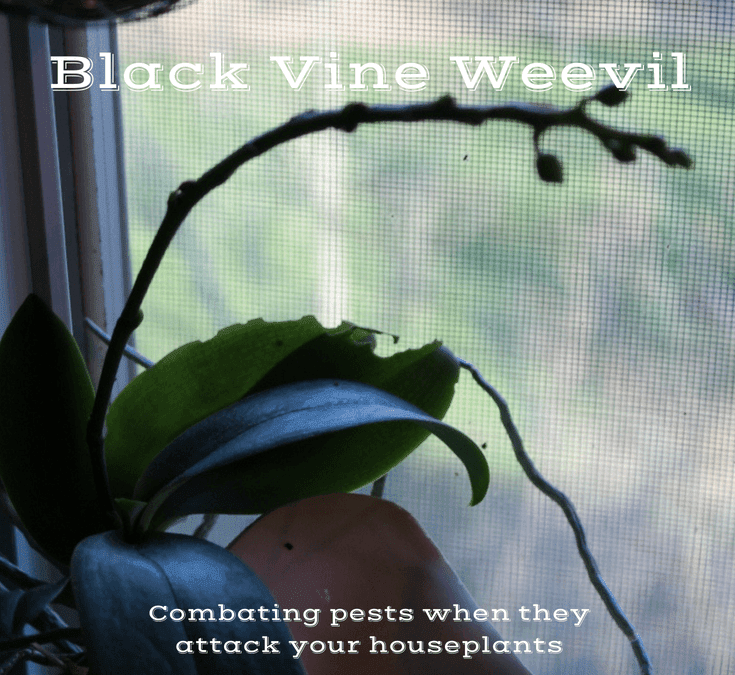 Insect Invasion: Black Vine Weevils