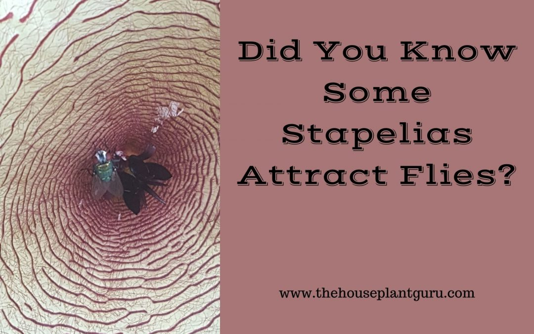 Did You Know Some Stapelias Attract Flies?